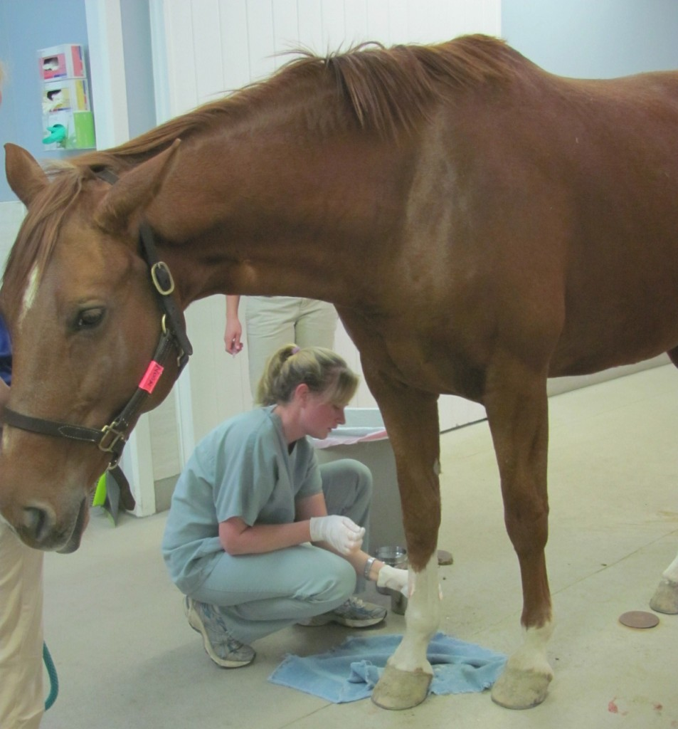 equine stem cell stem cell therapy