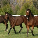 Lucky horses at the Thoroughbred Retirement Foundation